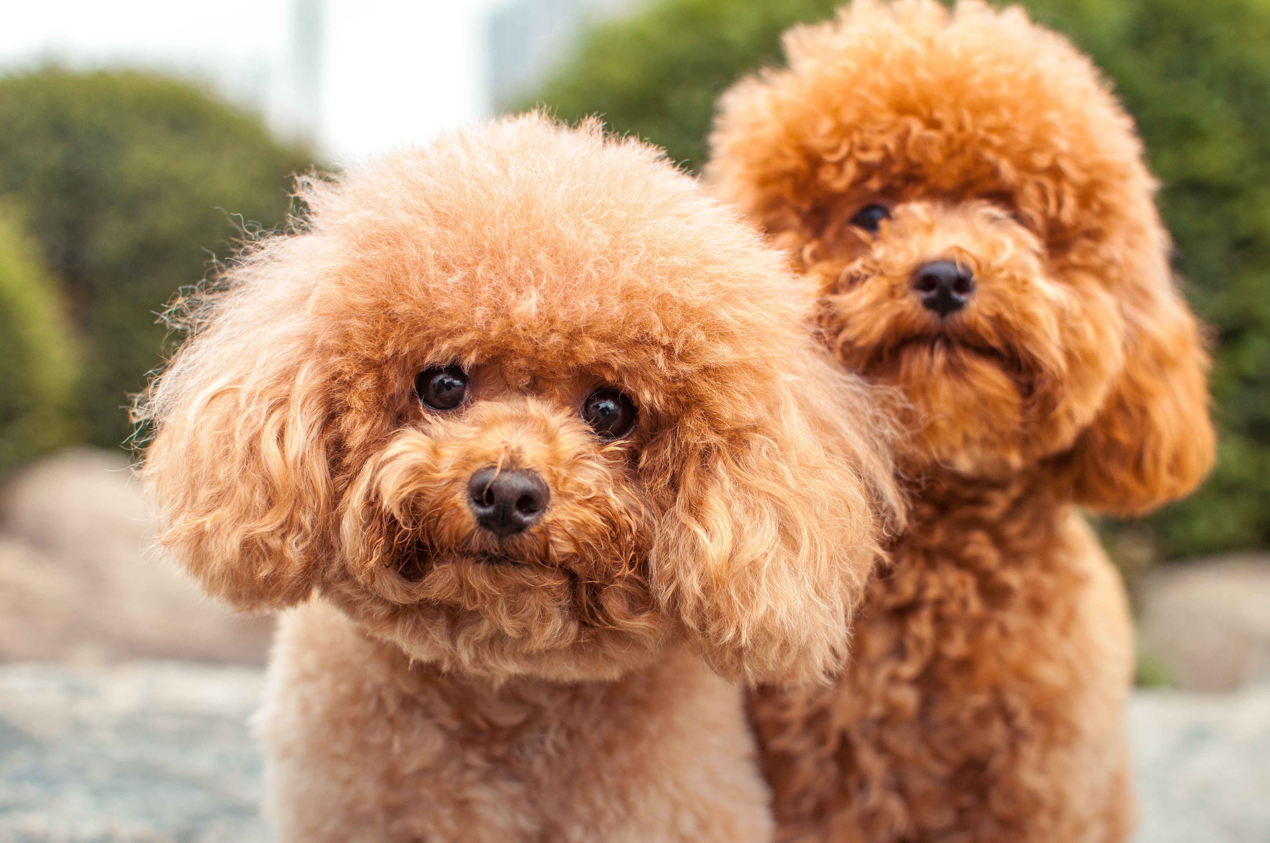 Dogs That Look Like Teddy Bears Poodles Pomeranians And More