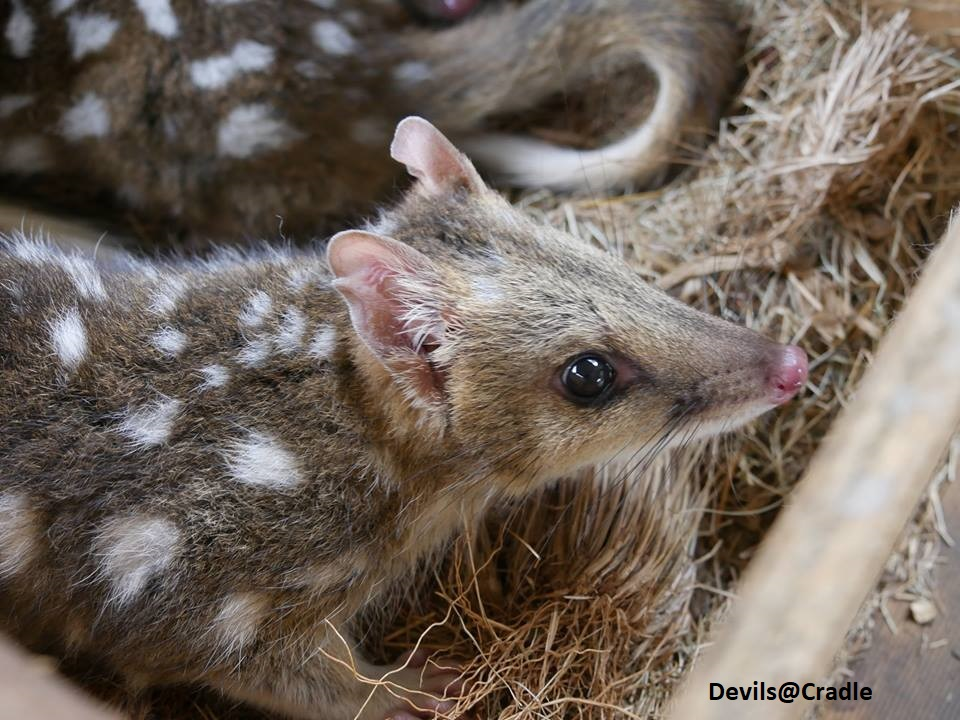 The Eastern Quoll