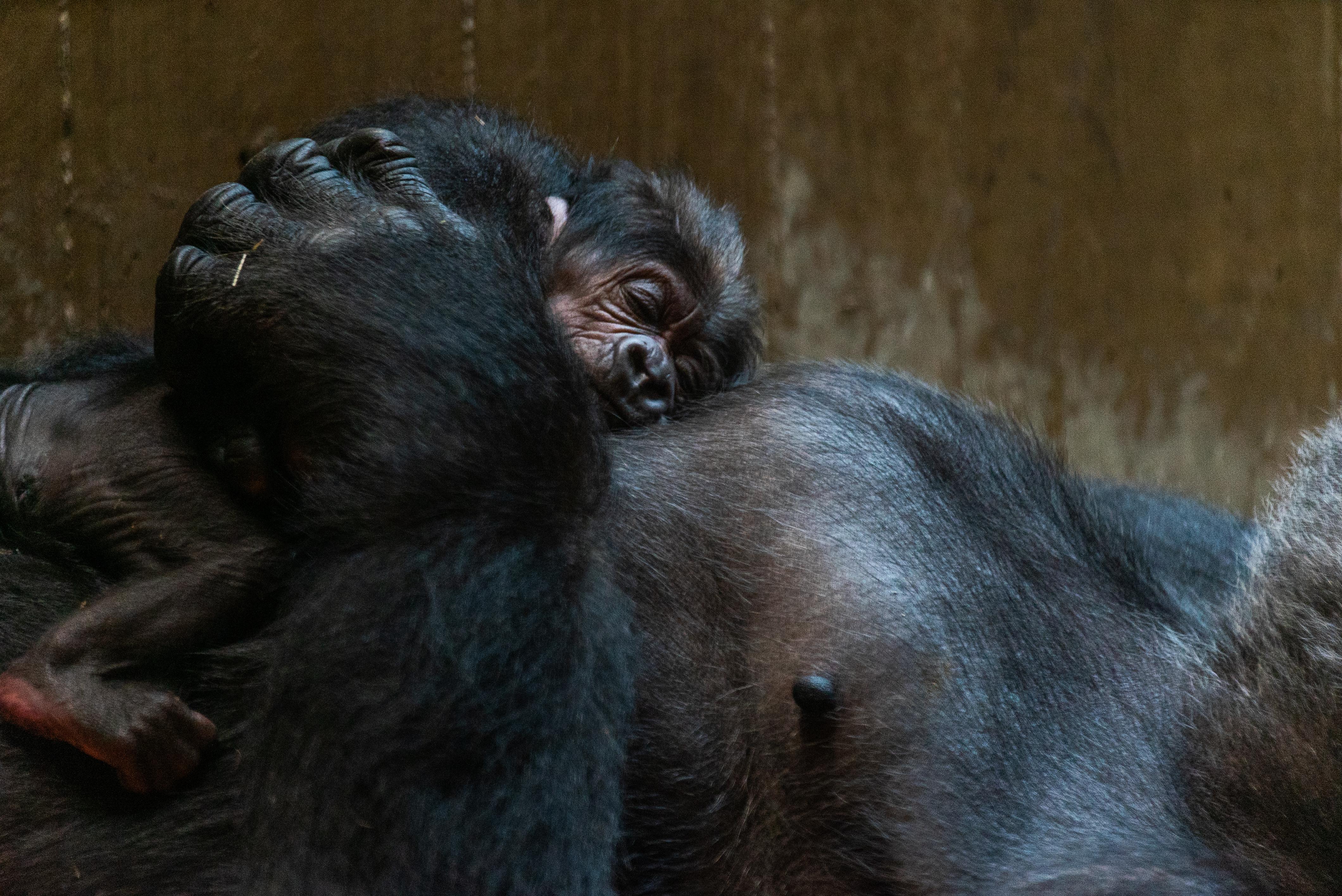 Smithsonian National Zoo Gorillas