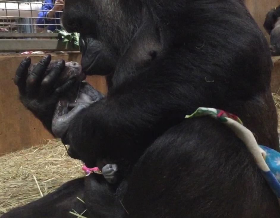 Western Lowland Gorilla Baby National Zoo