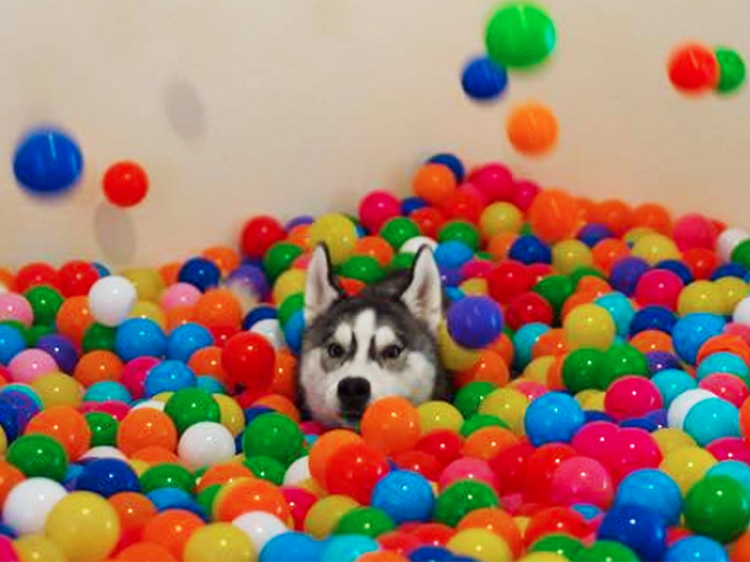 Sweet Husky Jumps for Joy After Discovering Her Very Own Ball Pit