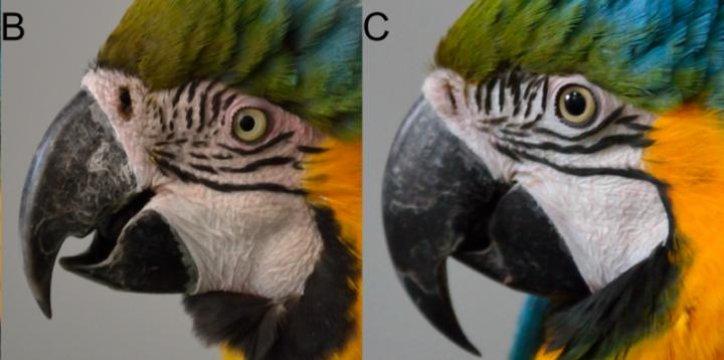parrots blushing