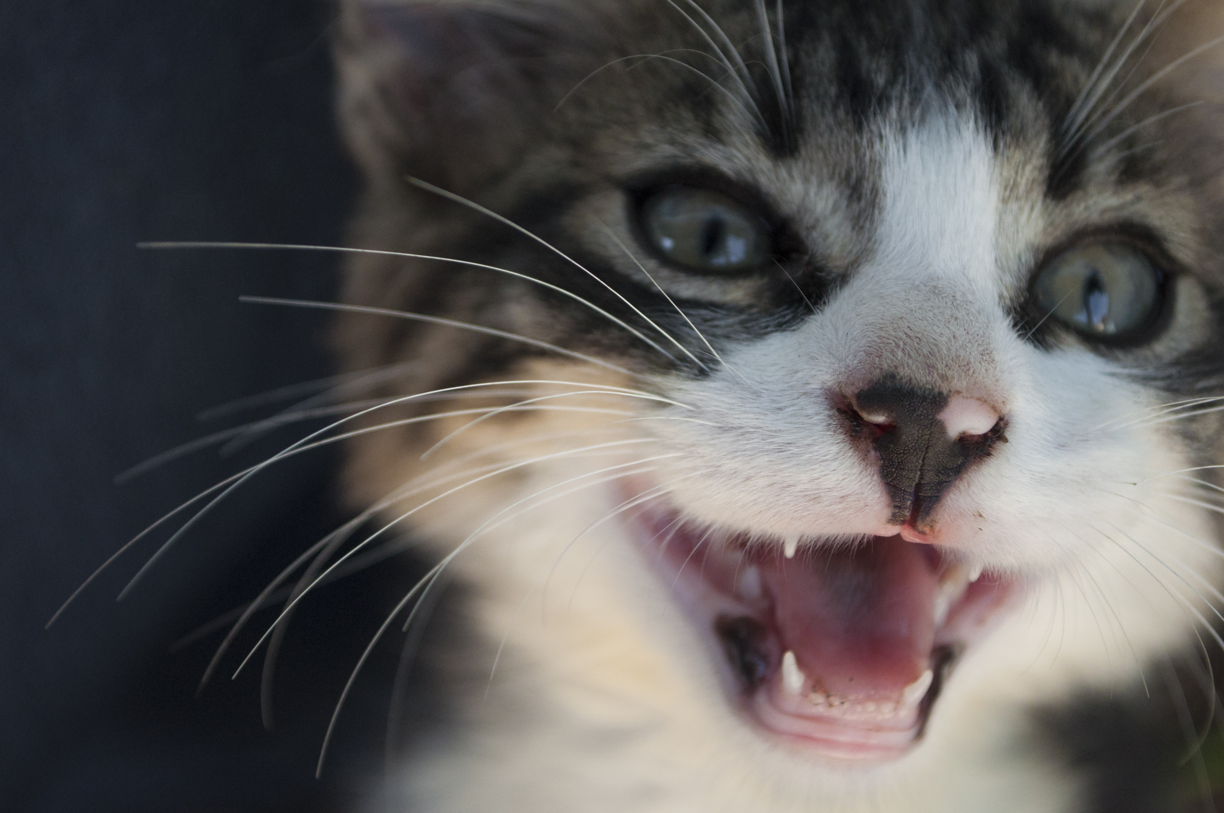 Do Cats Have Baby Teeth Getty