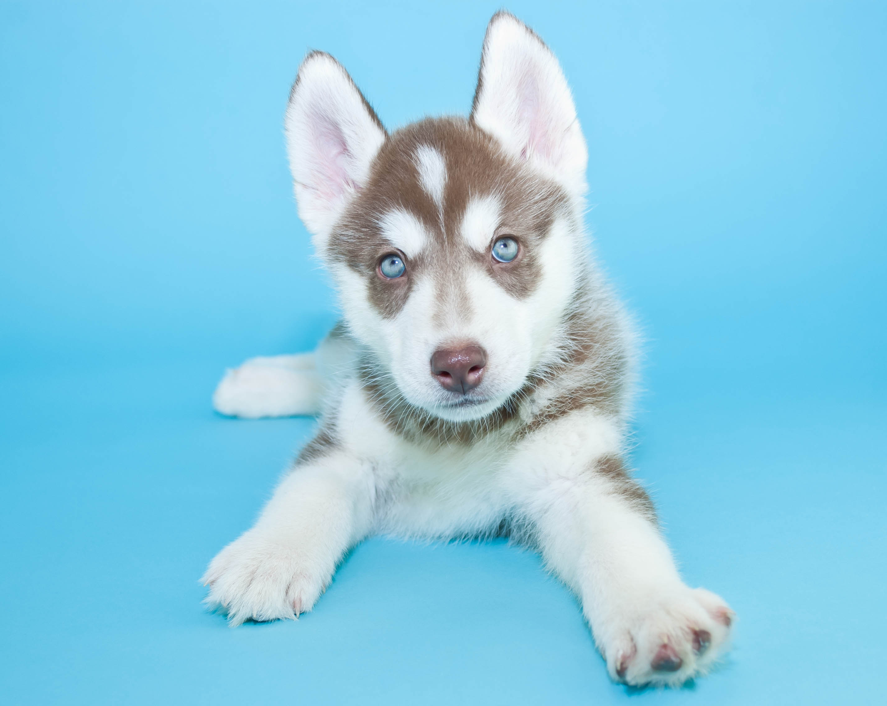 7 Siberian Husky Pups With Stunning Blue Eyes