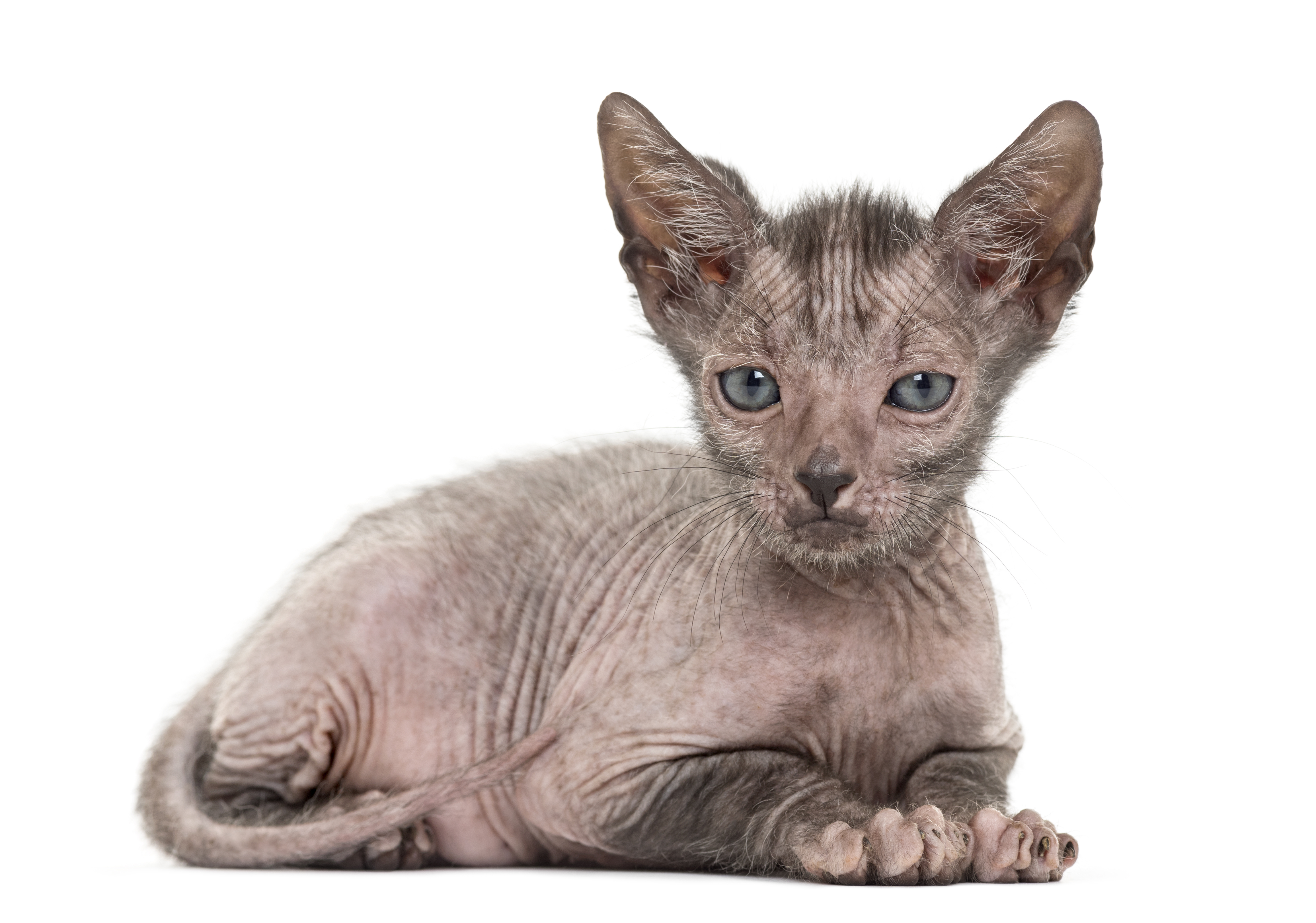 This Werewolf Cat Breed — Lykoi — Acts Like a Dog