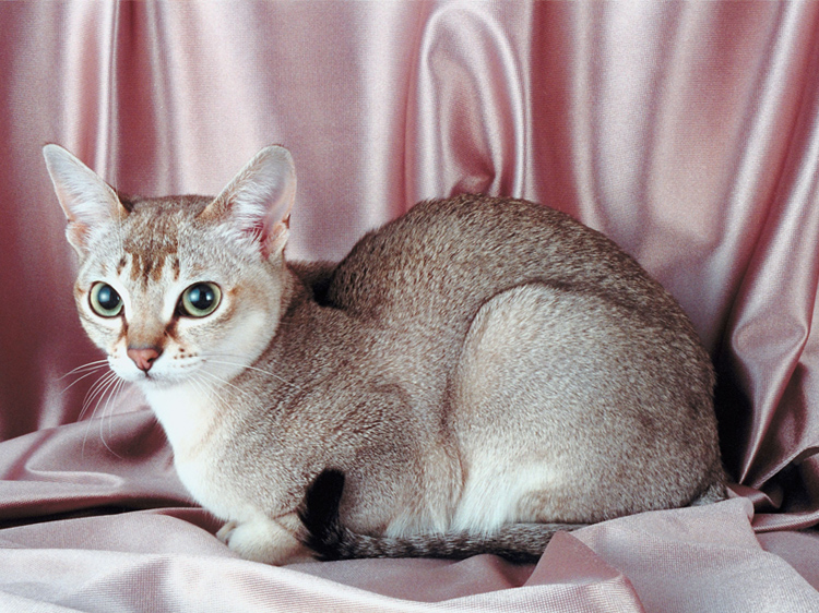 The World's Smallest Cat Breed Is Big-Time Adorable