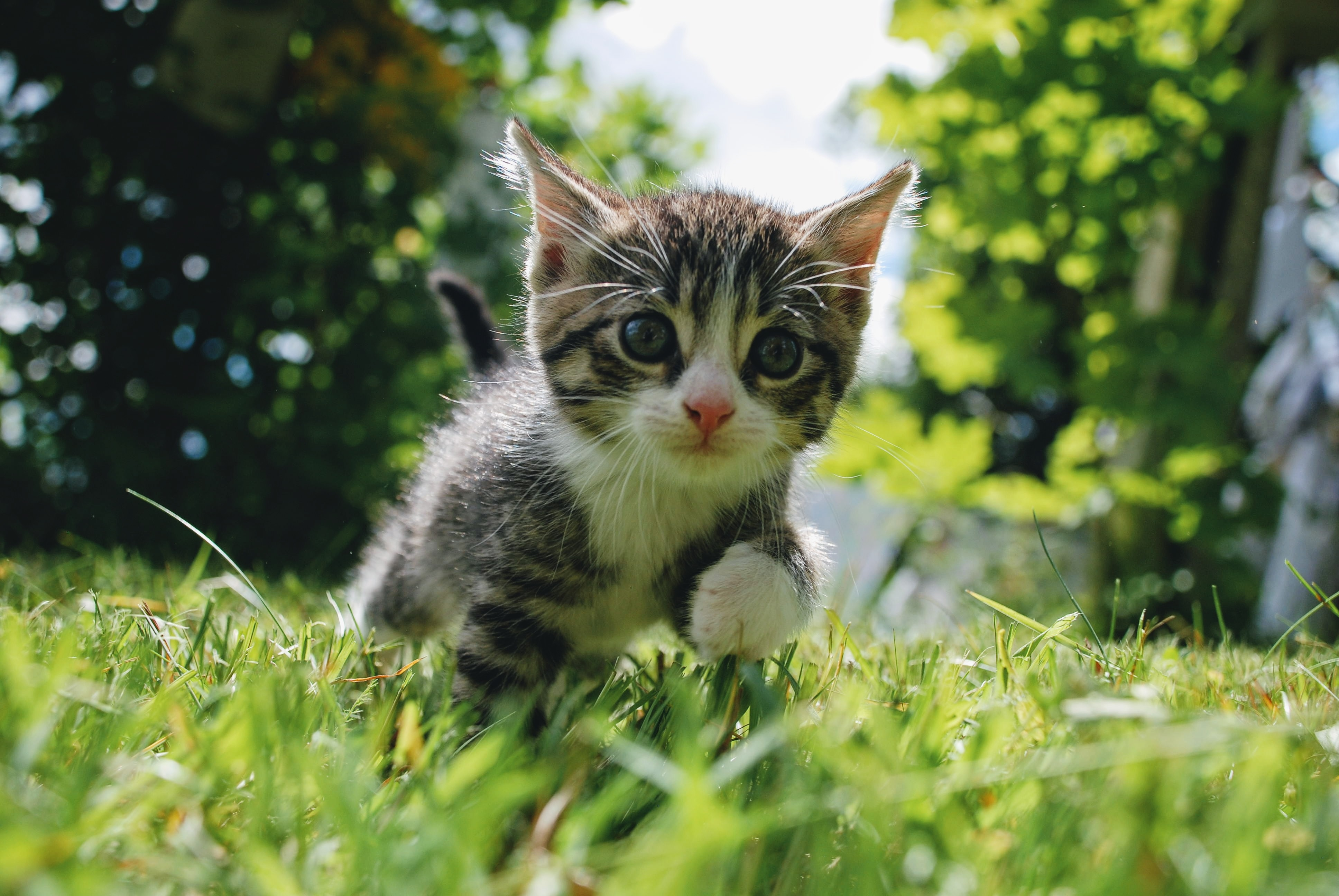 Kitten exploring outside and walking through grass.