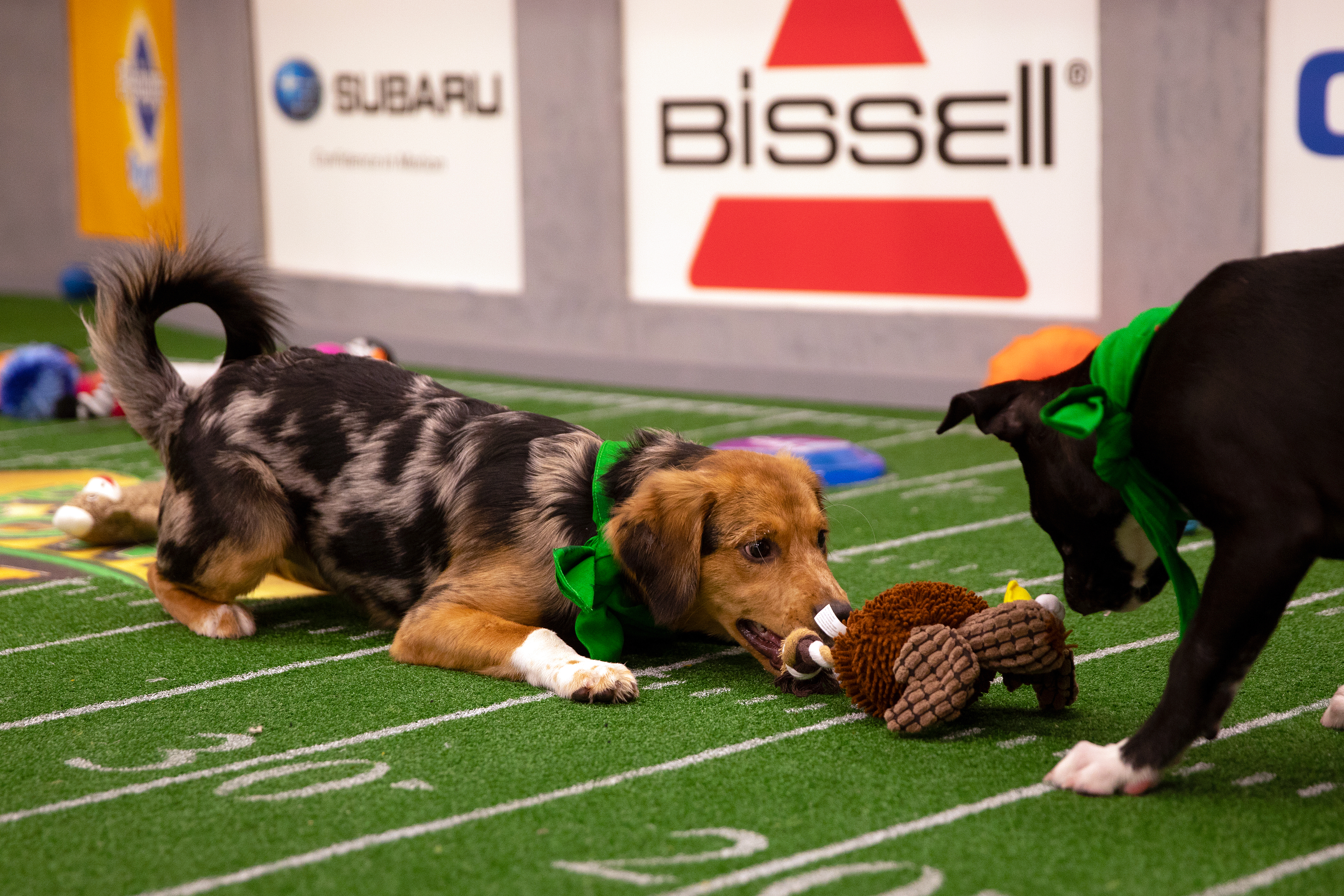 Puppies playing during the 2019 Puppy Bowl