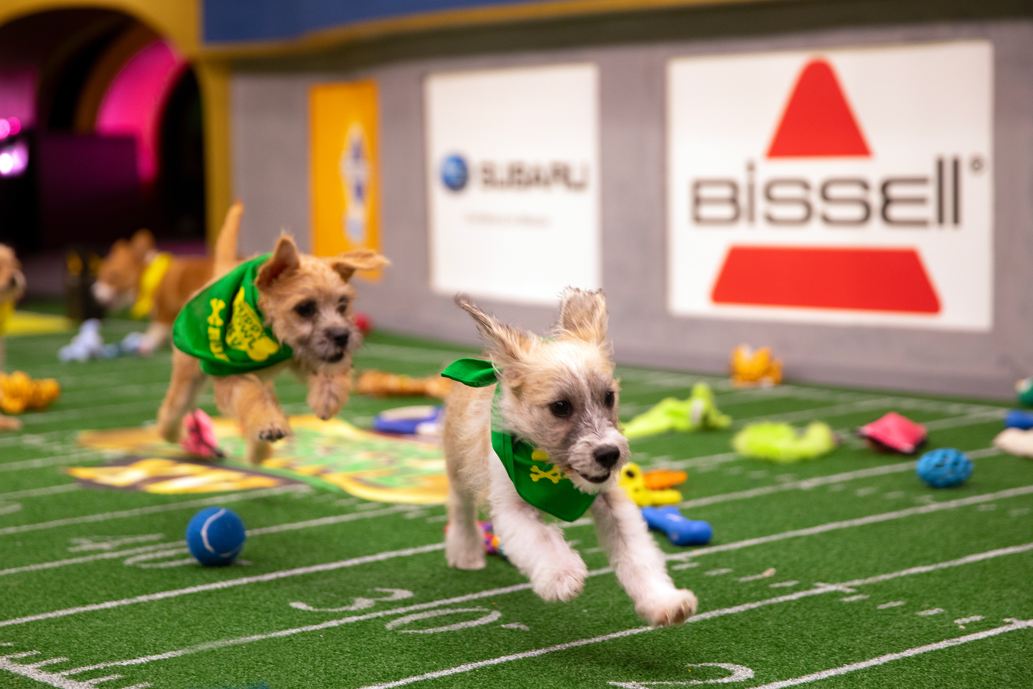 Two puppies playing at the 2019 Puppy Bowl.