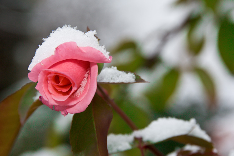 Flowers in Snow to Remind You Winter Is Not Forever