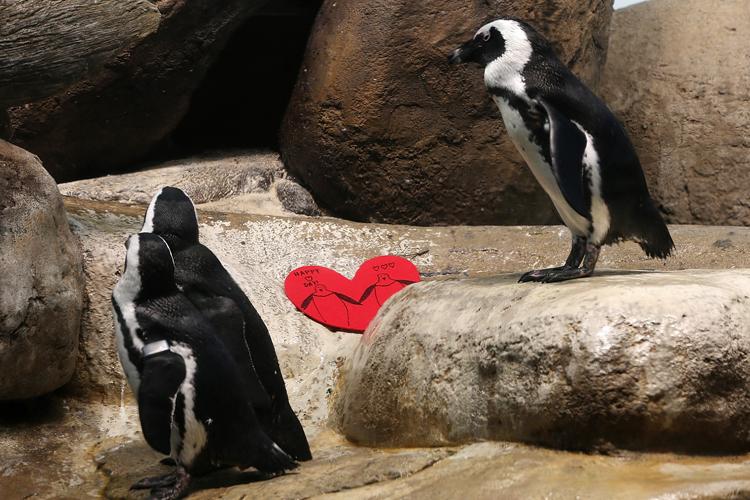 african-penguins