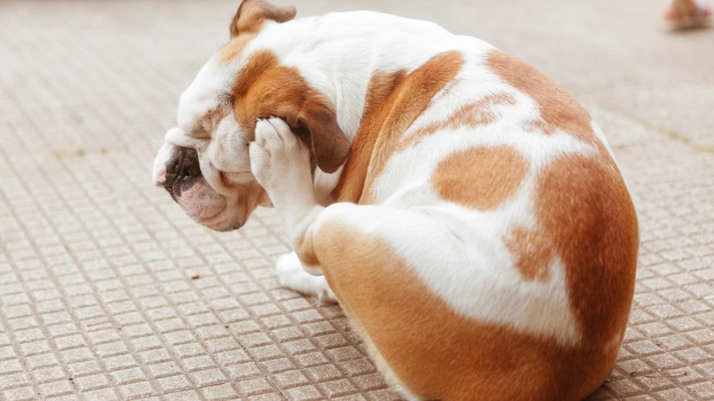 White and brown dog itching his ear