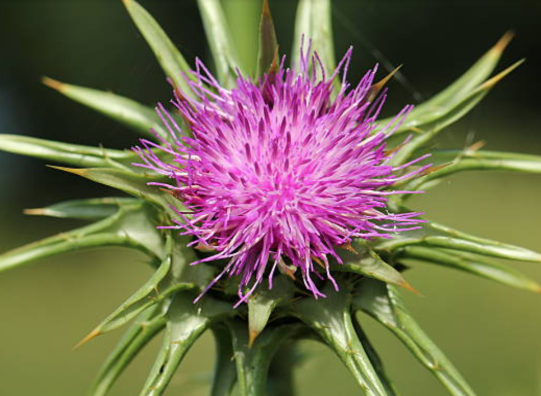 can milk thistle help with allergies
