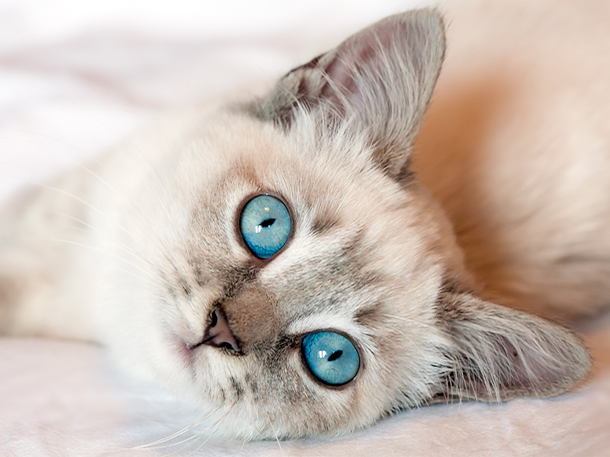 Beautiful Cats With Blue Eyes That Are Truly Captivating