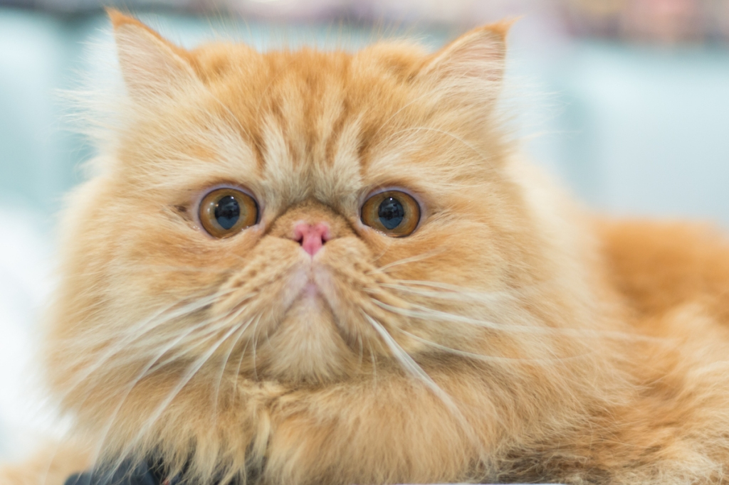 7 Breeds Of Cats With Flat Faces