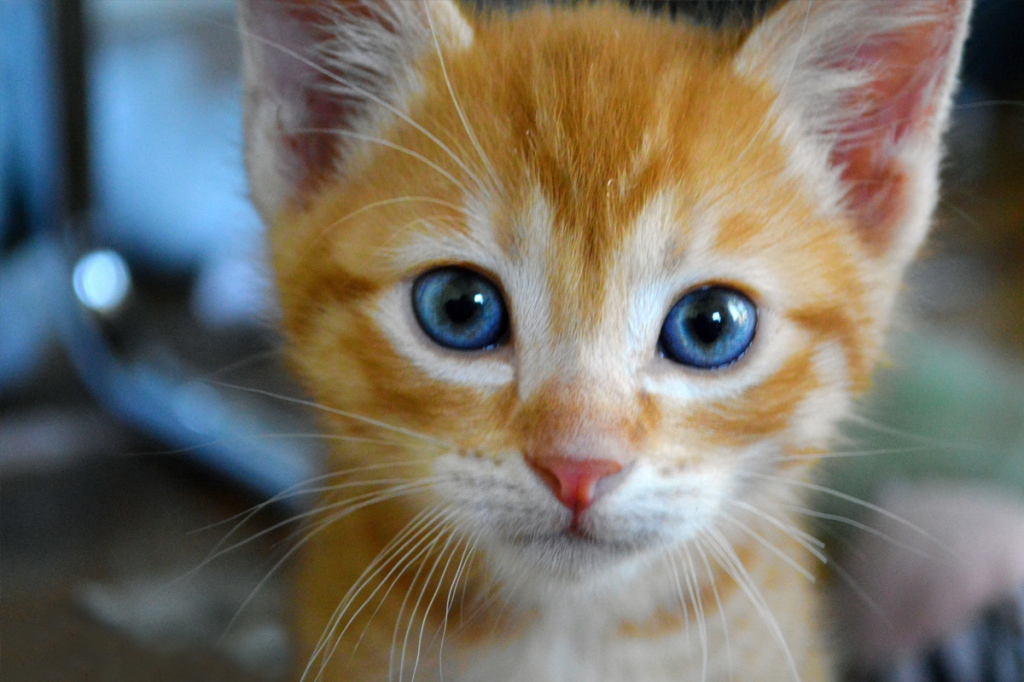 Names for Orange Cats with Blue Eyes