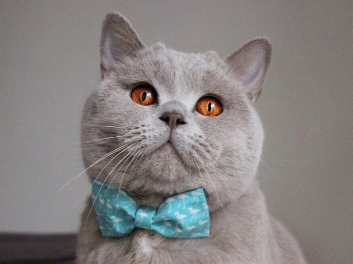 British Shorthair Cats: 7 Reasons Why They're Amazing