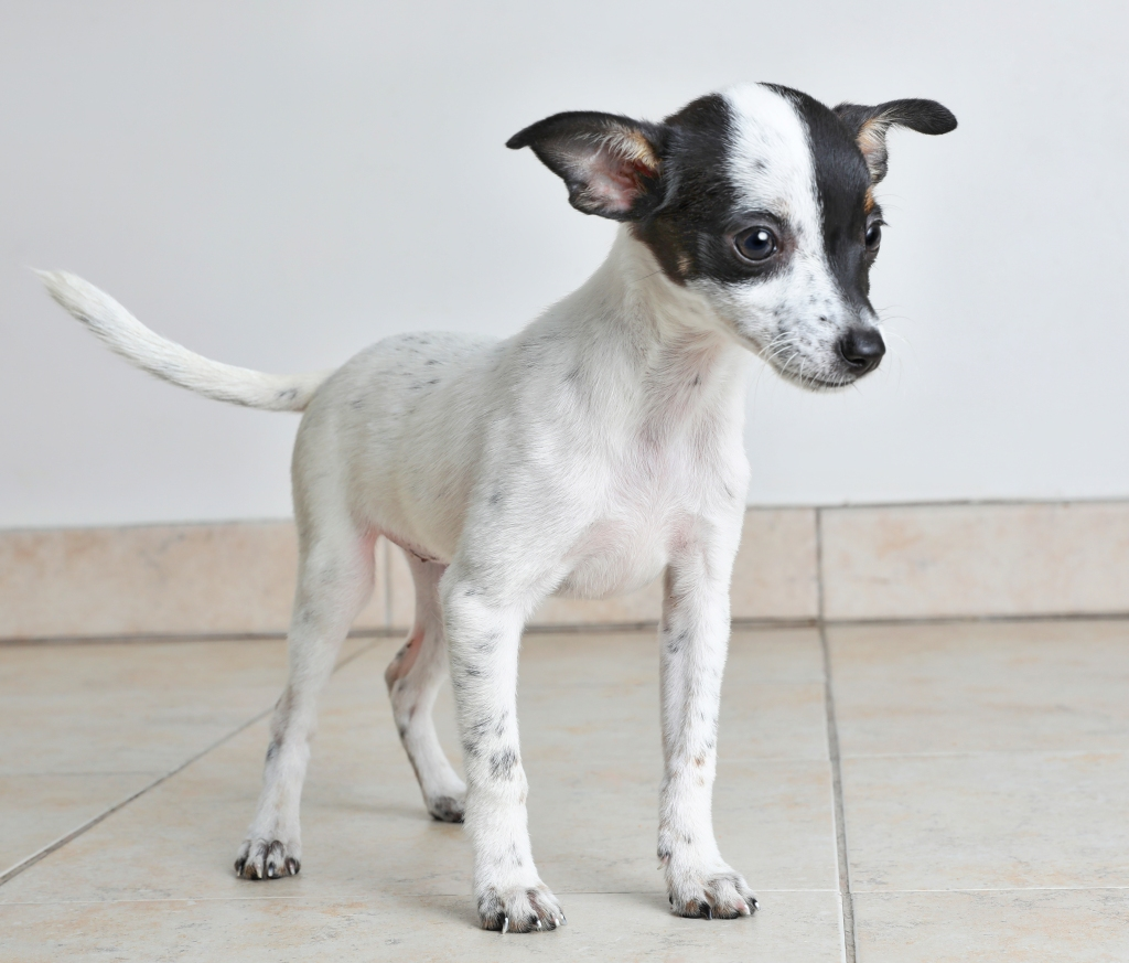 Small rat terrier and chihuahua mix puppy