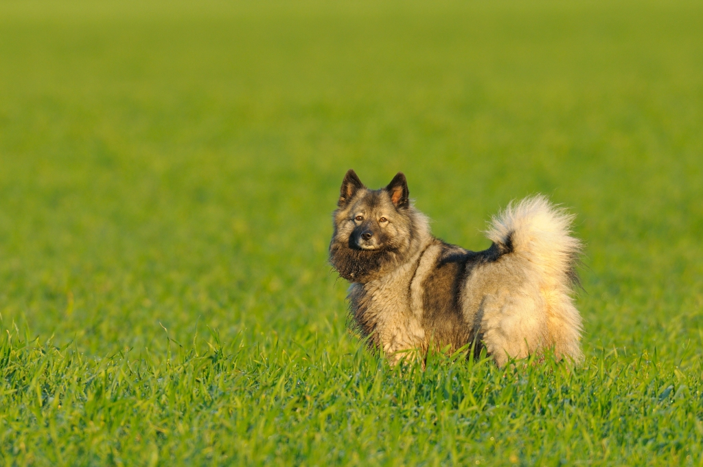 Chow mix dog in a field
