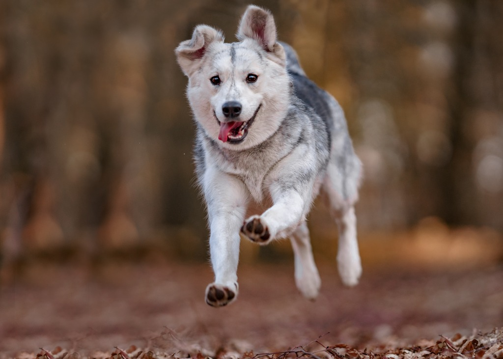 Siberian husky mix dog running through forrest