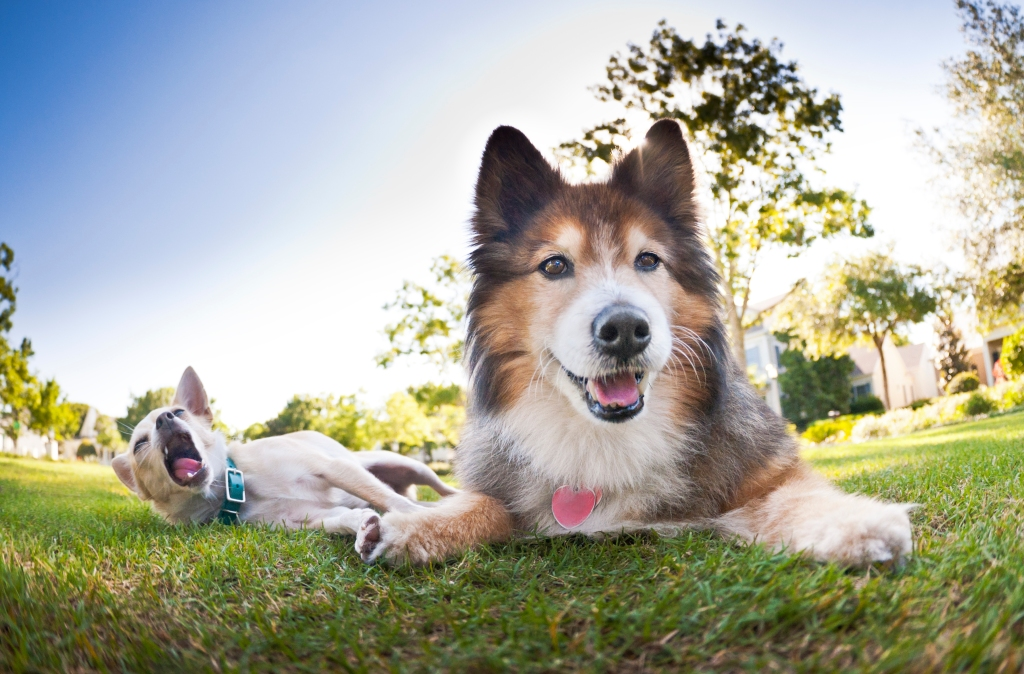 Sheltie mix dog laying on grass with chihuahua