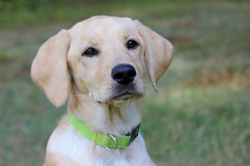 Yellow lab puppy outside