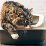 Tabby cat stepping out of litter box