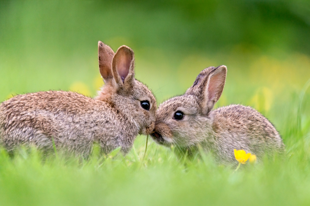 Two small bunnies kissing