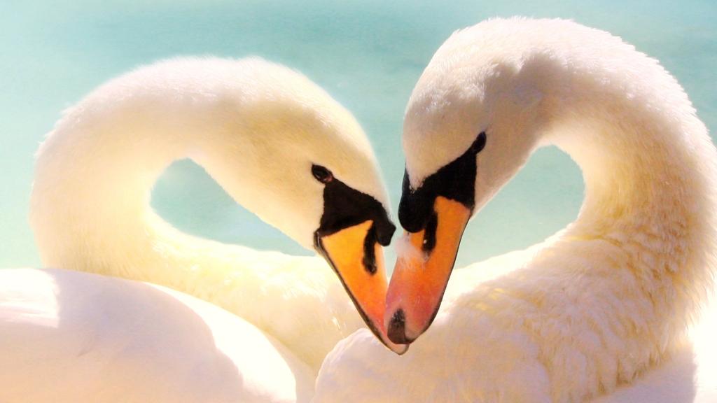 Swans making heart shape