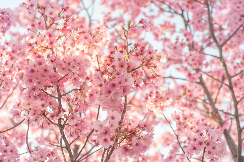 Beautify Your Yard With A 39 Cherry Blossom Tree Woman S World