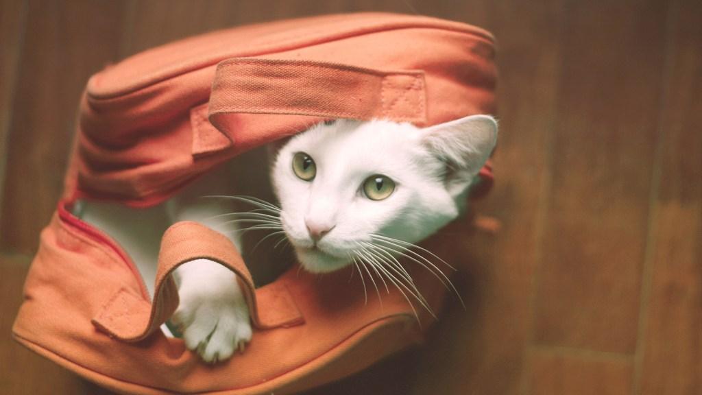 White cat inside orange purse