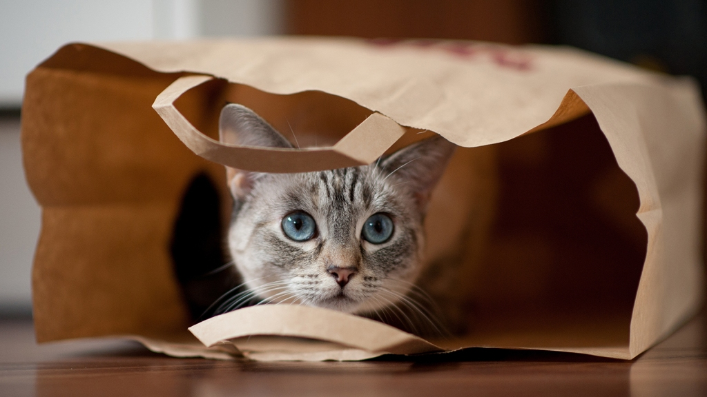 Gray cat with blue eyes staring out of paper bag