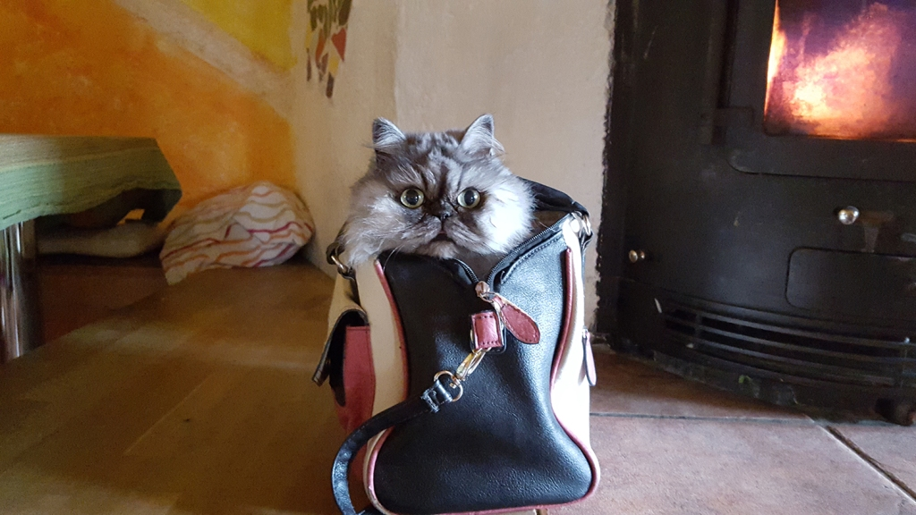 Fluffy grey cat poking head out of purse