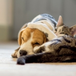 Tabby cat hugging beagle