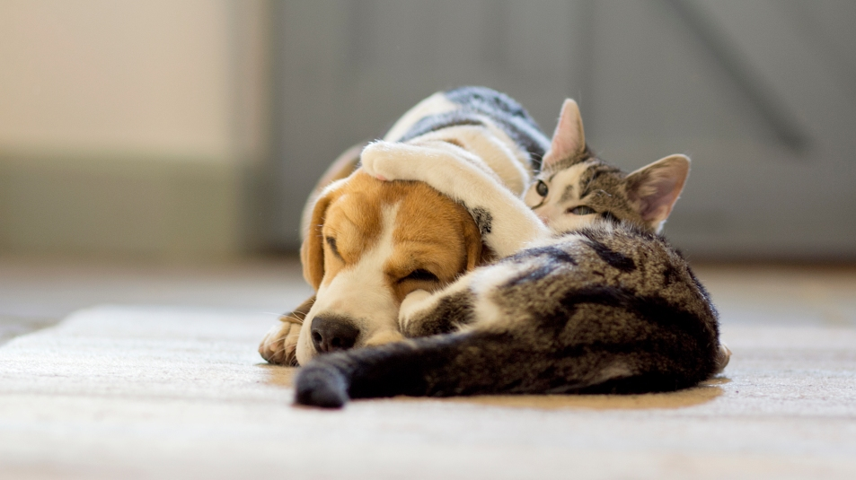 Tabby cat hugging beagle