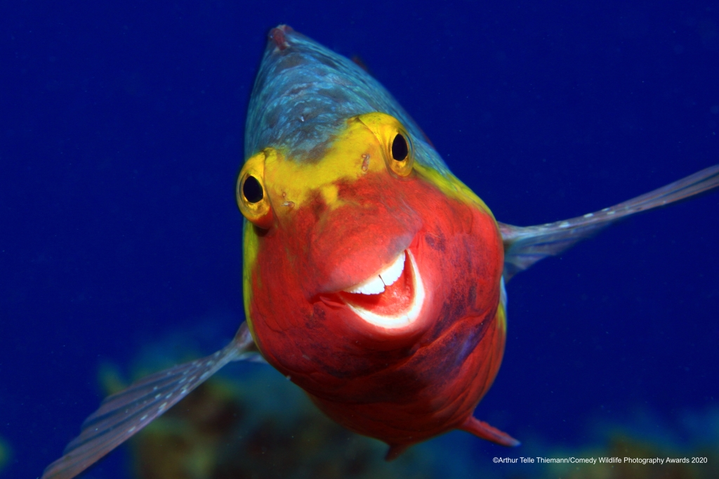 Parrot fish smiling