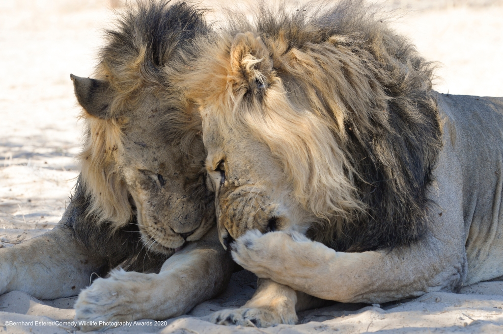 Lions whispering to each other