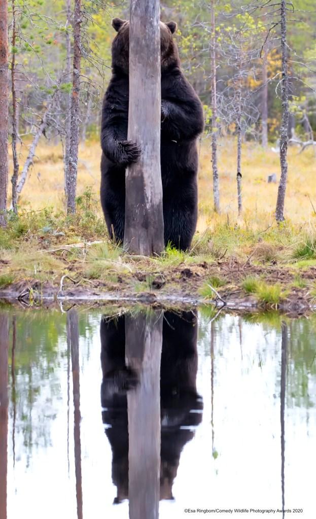 Bear hiding behind a tree