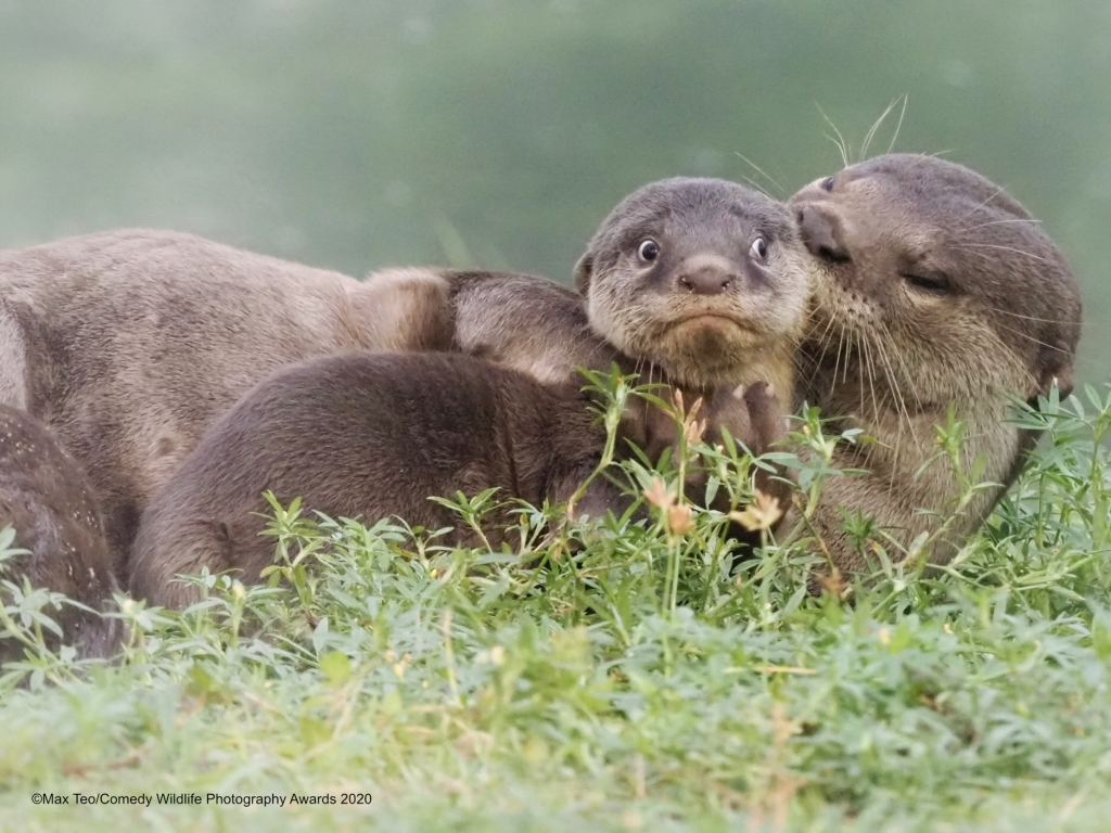 Older otter looking like it's kissing a wide-eyed younger otter's head