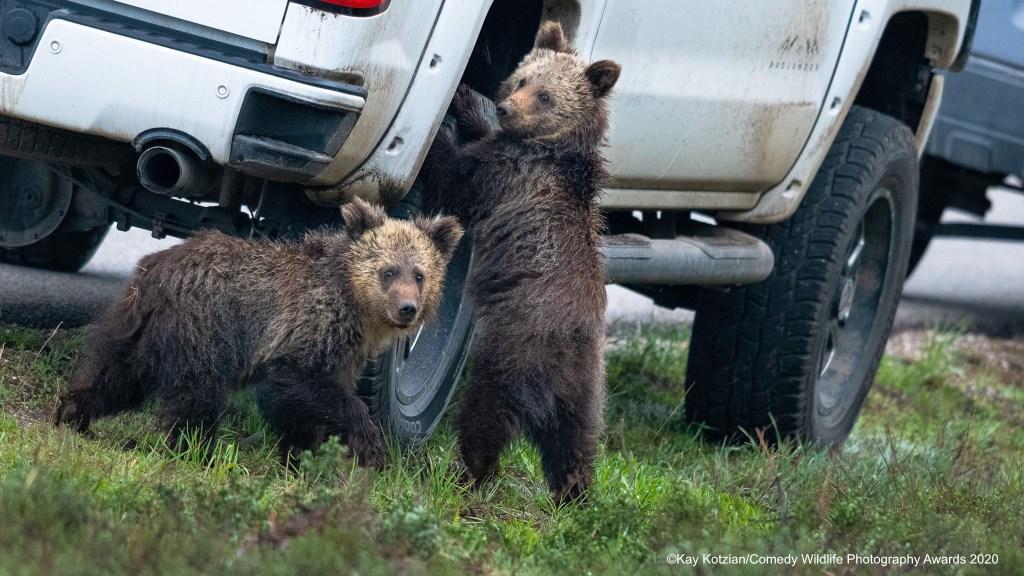 "Bear cubs ""fixing"" a flat"