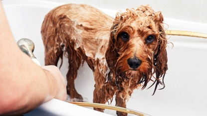 Wet dog in bath tub
