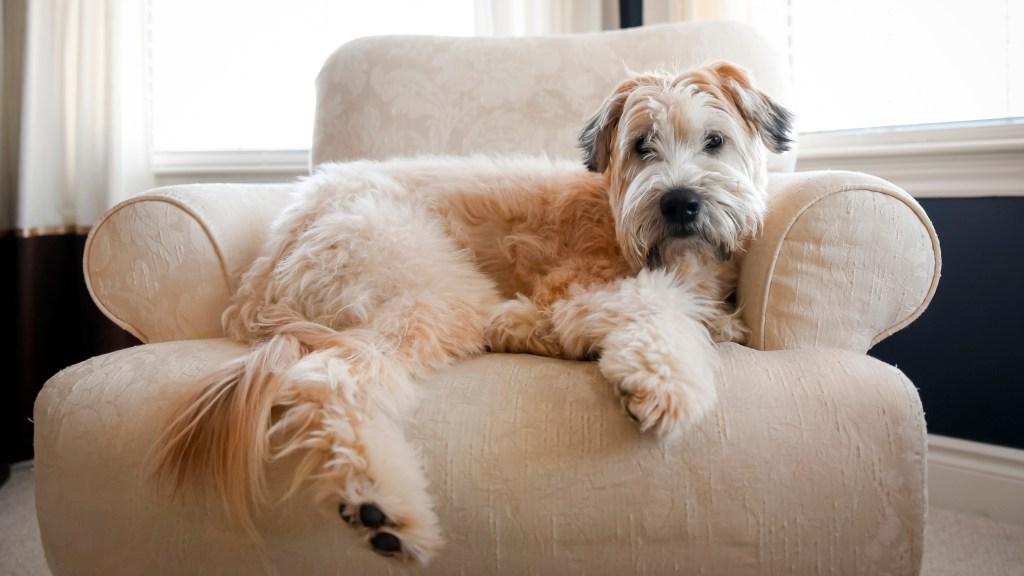 Wheaton dog
