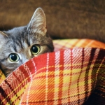 Cat hiding in blankets