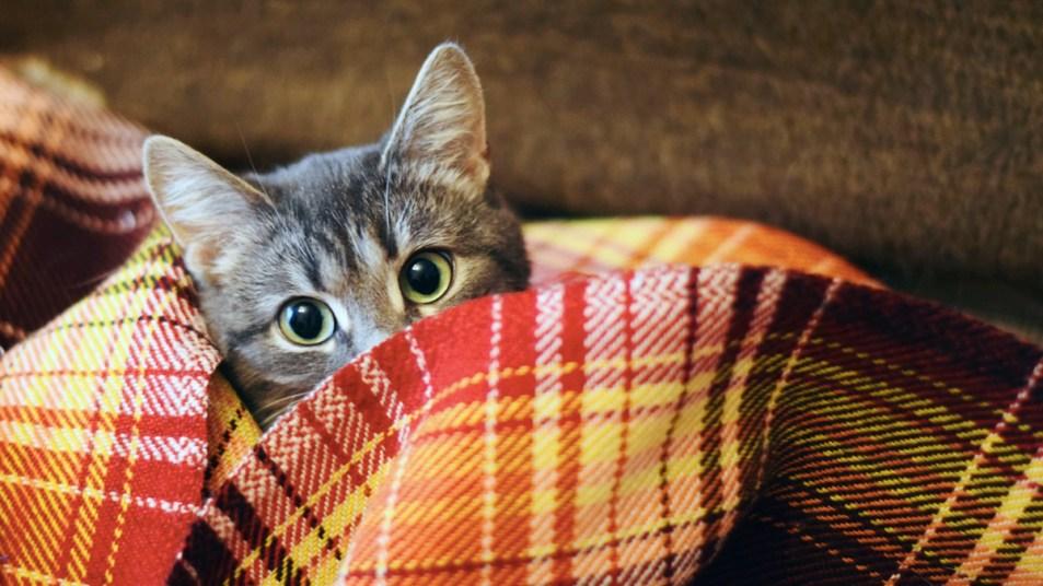 Cat hiding in blankets