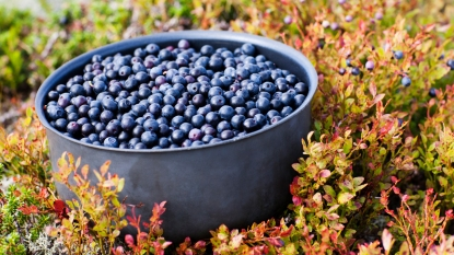 Bowl of bilberries