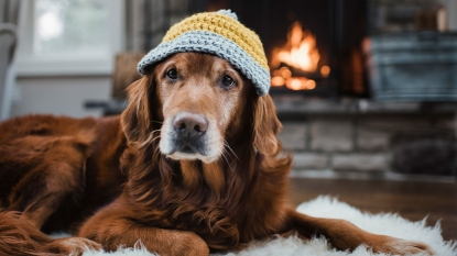 Dog wearing a knit hat
