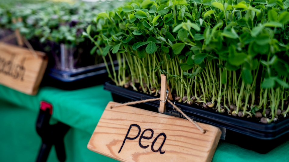 Pea shoots