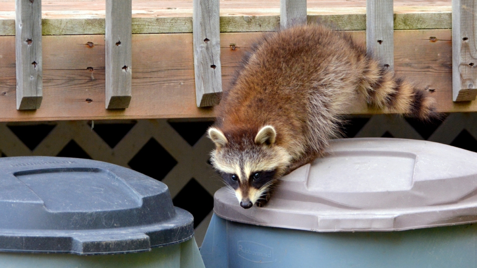 Raccoon digging into trash