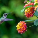 gardening hummingbird