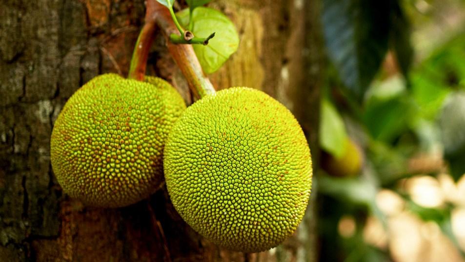 Bright green beadfruit growing on a tree